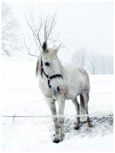 white horse, Switzerland
