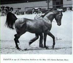 The great Arabian stallion, Fadjur. He is 23 yrs old in this photo. Arabian Stallions, Arabian Horses, Andalusian Horse, Friesian Horse, Most Beautiful Horses, All The Pretty Horses, Horse Facts, Arabian Beauty, Horse Ranch
