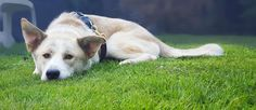 Special animal lovers needed for Service Dogs Uk. Can you foster a dog under assessment?