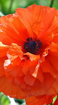 Vibrant Orange Double Frilly Oriental Poppy My Flower, Flower Art, Flower Power, Amazing Flowers, Beautiful Flowers, Tulips, Poppies, Flower Planters, Flower Pictures