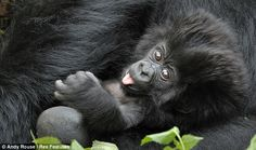 gorillas with babies | ... his showstopping performance, the gorilla relaxes in his mother's arms