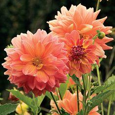 Dahlie 'Ace Summer Sunset' - große Blüten in warmen Pfirsichtönen. Die Knollen werden im Frühling gepflanzt. Erhältlich im Onlineshop www.fluwel.de