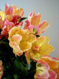 Beautiful French tulips