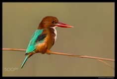 Beauty of The Nature - White-Throated Kingfisher Head Baloki, Pakistan. Nikon 600mm F4E FLED + Nikon TC14E-III + Nikon D4s
