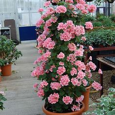 9 Jumbo Plug Plants - Climbing Geranium 'Antik' Collection