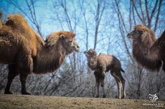 BABY ANIMAL ALERT: A male Bactrian camel calf (born March 24) is now on exhibit along our Northern Trail! http://goo.gl/eqAh52