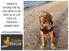 Don't worry Tanner, the beach weather is coming soon! #goldenretriever #FeelGoodFriday #summertime #summerdreaming #secondchance Feel Good Friday, Beach Weather, Second Chances, No Worries, Summertime