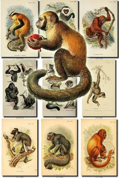PRIMATES APES BEST-1 images Collection of 72 most beautiful vintage Lemur Monkey Gorilla Gibbon digital download printable mammalia mammals           data-share-from=listing        >           <span class=etsy-icon
