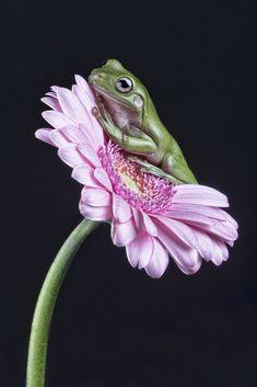 Whites Tree Frog - null