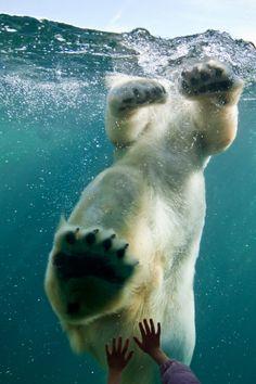 Polar Bear - Como Zoo, St. Paul - Daniel Soderstrom - saw this bear today doing tumbles. Fantastic photo