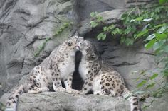 Snow Leopards, Roger Williams Zoo