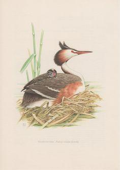 1958 Great Crested Grebe, Vintage Print, Old Lithograph, Podiceps cristatus, Haubentaucher, Ornithology, Bird Print, Waterbird Illustration