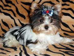 Biewer Yorkie.... Doll baby!