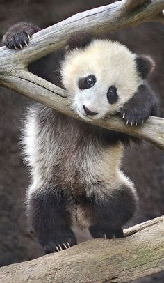 Just Popping In to Say Hi :) Panda Bebe, Cute Panda, Red Panda, Tiny Panda, Panda Panda, San Diego Zoo, Cute Little Animals, Cutest Animals, Bear Cubs