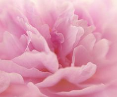 pink peonies are my favorite