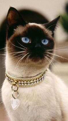 Siamese cats (95 pictures) (14) More