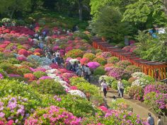 Bunkyo Azalea Festival (Bunkyo Tsutsuji Matsuri) is one of the most popular flower festivals in Tokyo during spring. Bunkyo Azalea Festival 2020 will be held at Nezu Shrine, Tokyo.