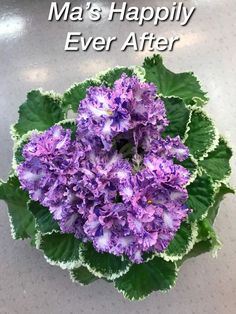 African Violet CHIMERA Ma's Happily Ever After; In Bloom; GORGEOUS!!! Saintpaulia, Sweet Violets, African Violet, Chimera, Happily Ever After, Landscaping Ideas, Indoor Plants, House Plants, Orchids