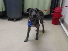 07/22/15-HOUSTON-This DOG - ID#A437317 I am a neutered male, blue merle Great Dane mix. The shelter staff think I am about 9 months old. I have been at the shelter since Jul 18, 2015. This information was refreshed 4 minutes ago and may not represent all of the animals at the Harris County Public Health and Environmental Services.