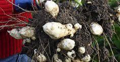 Maa-artisokka on helppohoitoinen ja terve kasvi. Lue maa-artisokan kasvatusohjeet Viherpihasta.