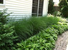 Easy landscaping for the lazy gardener, ornamental grass and hosta. comes back every year.