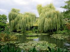 Monet's weeping willow trees and man made pond.  Giverny is about 75km from Paris, and there are day trips available.  Monet's home and gardens are beautiful and very inspiring. The little town of Giverny is old and still looks that way- it's very nice to stroll thru.