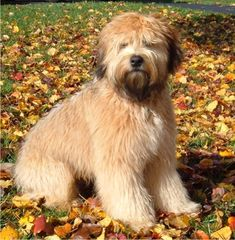 Soft Coated Wheaten Terrier Puppy 11 Months. Donny in dog form @Amy Lyons Fontano