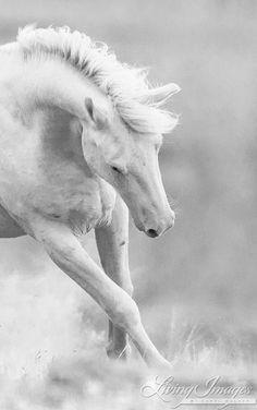 Cremosso Plays II  Fine Art Wild Horse Photograph by Carol Walker www.LivingImagesCJW.com