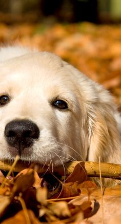 sweet golden retriever....