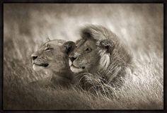 Horst Klemm - Lion Couple
