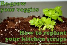 Regrow your veggies: How to Replant your Kitchen Scraps - It's A Fabulous Life
