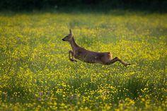 Roe Deer (female) by R.Price on Flickr.