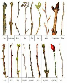 Types of trees. Tree identification. Buds. Branches. Photo log. Wood. Botany. Wilderness. Woods. Forest.