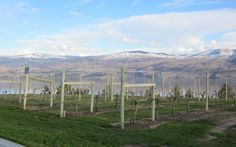 Vineyards at Mission Hill Winery, West Kelowna, BC
