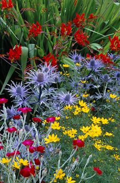 90706 - 12 Crocosmia 'Lucifer', Eryngium x oliverianum and Coreopsis verticillata at Great Dixter
