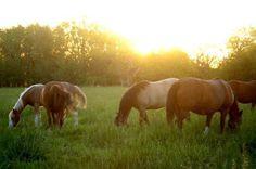 grassland horses