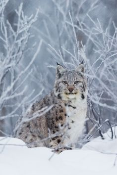 Given that the weather can be extremely harsh in Scandinavia, you might be surprised to learn that there is an abundance of wildlife, probably the most diverse in all of Europe in fact #Wildlife