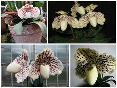 Орхидея Paphiopedilum (башмак) и посадка в субстрат!))))