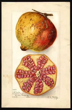 "Artist: Newton, Amanda Almira, ca. 1860-1943 Scientific name: Punica granatum Common name: pomegranates ""U.S. Department of Agriculture Pomological Watercolor Collection. Rare and Special Collections, National Agricultural Library, Beltsville, MD 20705"""