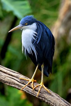 The Pied Heron (Ardea picata), also known as the Pied is a bird found in coastal and subcoastal areas of monsoonal northern Australia as well as some parts of Wallacea and New Guinea. Heron of Prey Most Beautiful Birds, Pretty Birds, Love Birds, Small Birds, Beautiful Pictures, Exotic Birds, Colorful Birds, Tropical Birds, Exotic Animals