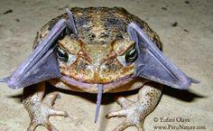 Fotógrafo flagra exato momento em que sapo abocanha morcego inteiro | S1 Notícias