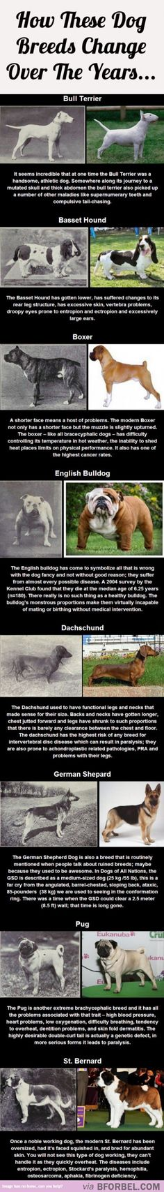Overbreeding: This is what constant, strict breeding does to dogs. Don't shop, Adopt.