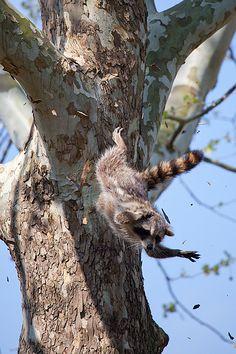 Flying Raccoon by Evan Animals, via Flickr