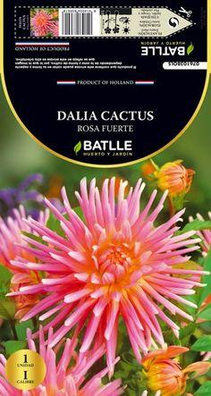 Bulbo primavera Dalia Cactus Rosa 1 ud