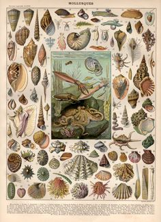 1897 Molluscs Antique Print Vintage Lithograph by Craftissimo