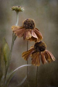 As summer fades to autumn, and leaves and petals fall, we see the beauty of the cycle of life in all it's majestic splendor with ever changing awe. Art Floral, Love Flowers, Beautiful Flowers, Brown Flowers, Living Room Canvas Art, Belle Photo, Flower Art, Flower Power, Bloom