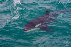 Orca-otago-peninsula