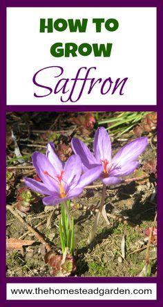 How to Grow Saffron