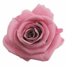 FL0100-20 Standard Rose / Cherry Blossom