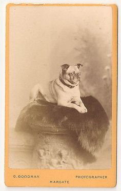 Another highlight of my collection - a Victorian pug!